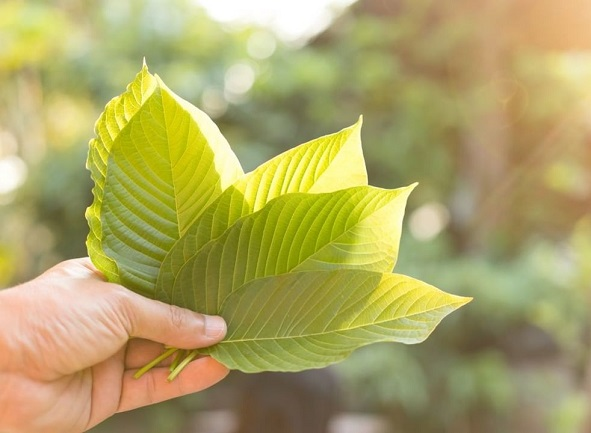 The Two Most Abundant Kratom Alkaloids You Must Know