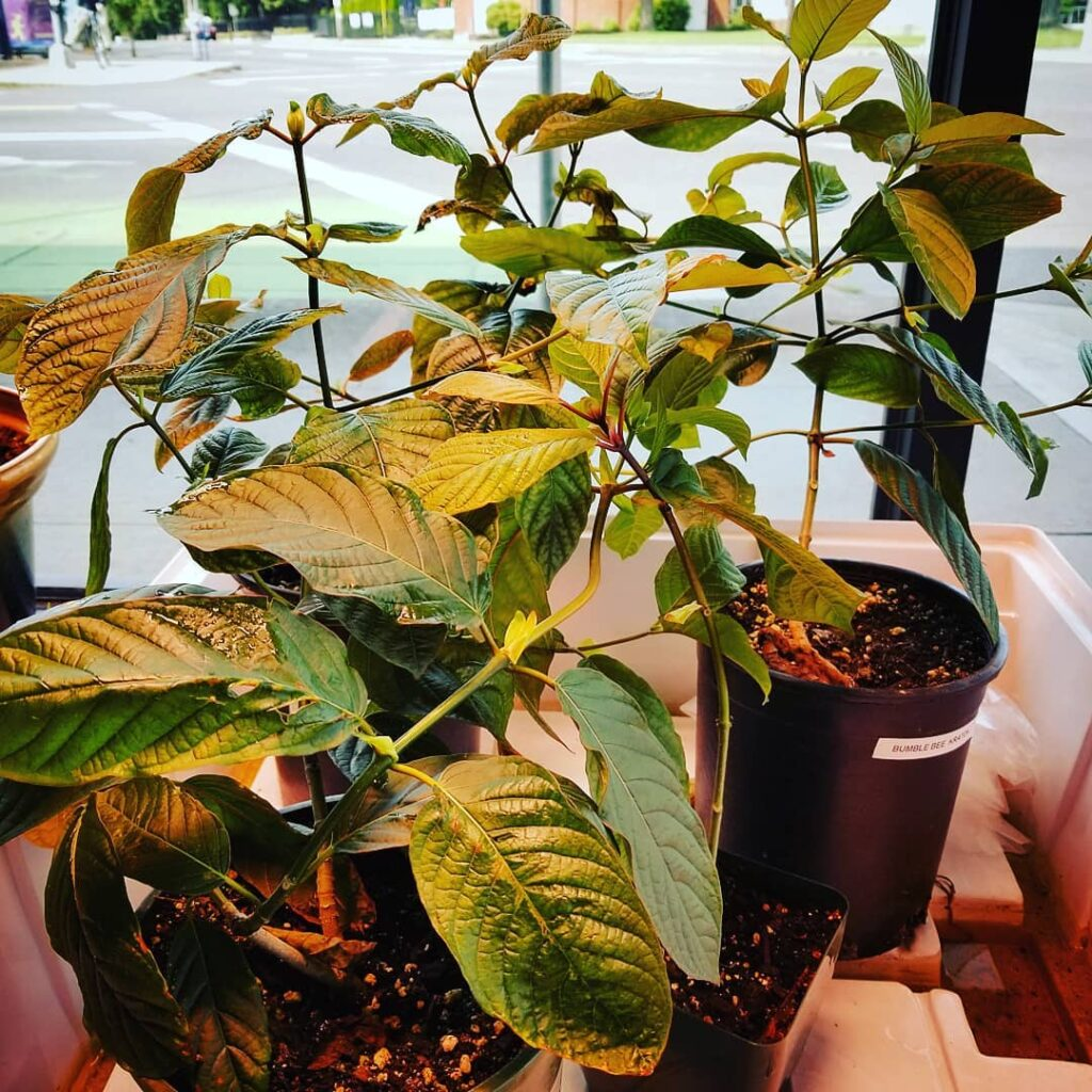 How To Grow A Kratom Tree From Seed?
